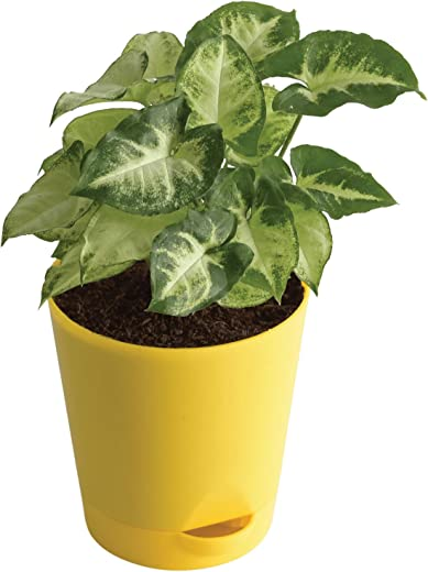 UGAOO Syngonium Pixie Indoor Plant with Self Watering Pot