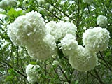 "Viburnum macrocephalum 'Sterile' - 6"" - 12"" Chinese Snowball - 3.5"" Healthy Potted Plant - 6"" - 12"" Flowering Shrub - 3 Pack by Growers Solution"