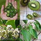 ADB Inc Heirloom Cocktail Miniature Kiwi Kiwiberry Berry Hardy Actinidia Arguta Fruit Seeds