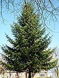 Douglas Fir - Pseudotsuga menziesii. Fast growing evergreen. 1 gallon live tree.