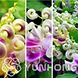 Fresh Snail Flower Vine Flower Seeds - Vigna Cochliasanthus Caracalla Seeds, Rare Cork Screw Snail Vine Seeds Packet 50PCS
