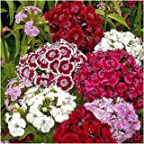 Package of 2,000 Seeds, Sweet William Mixture (Dianthus barbatus) Open Pollinated Seeds by Seed Needs