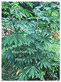 Abamec 3 Tapioca Manihot Esculenta or Cassava (5 inch) Stem Cuttings for Growing