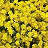 Alyssum Basket of Gold Seeds - 1/4 Oz - Perennial Flower Garden Seeds - Yellow Blooms - Aurinia saxatilis