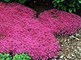 "Major Red Thyme Plant - Great Groundcover Plant - Hardy - 3"" Pot"