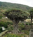 Dracaena Draco | Canary Islands Dragon Tree | 10_Seeds