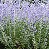 30 Seeds of Perennial Perovskia Atriplicifolia - 'Russian Sage'. Aromatic, Colorful and a Bee Magnet!