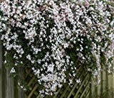 Jasminum officinale Grandiflorum Poets Jasmine - Fragrant Flowers - 1 Plant!