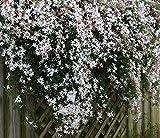Jasminum officinale Grandiflorum Poets Jasmine - Fragrant Flowers - 1 Plant!