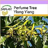 SAFLAX - Perfume Tree Ylang Ylang - 10 seeds - Cananga odorata
