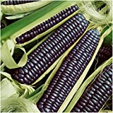 Seed Needs Package of 100 Seeds, Blue Hopi Ornamental Corn (Zea mays) Non-GMO Seeds