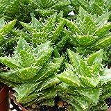 Aloe zanzibarica squarrosa Cactus Cacti Succulent Real Live Plant