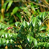 """Curry Leaf Tree in a 4"""" Pot (Murraya koenigii) 4""""- 6"""" Tall Live Curry Plant (SHIPS TO FLORIDA ADDRESSES ONLY) Price Includes Free USPS Priority 2-3 Day Shipping"""