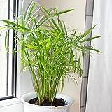 200 Cyperus alternifolius Seeds, Umbrella Plant Seeds, Papyrus Grass Seeds
