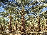 Phoenix dactylifera True Date Palm 20 seeds