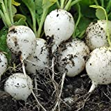 COOL BEANS N SPROUTS - Radish Seeds, White Round Chinese Radish Seeds, 25 Seeds per pack , Organic , NON-GMO, COOL BEANS N SPROUTS