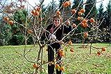 """1 Fuyu persimmon tree(Diospyros kaki """"Fuyu,"""") 3 feet tall"""