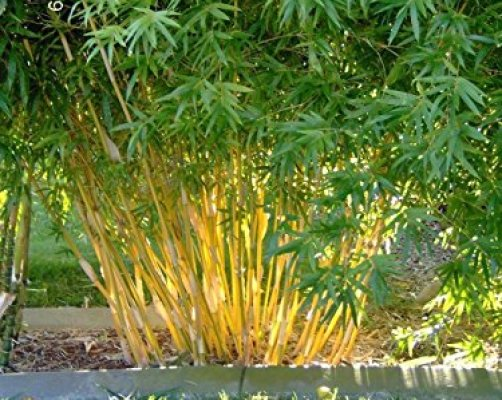 how to get bamboo seeds