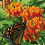100 Butterfly Milkweed/Monarch Flower Seeds (Asclepias Tuberosa)