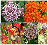 1 Set x Monarch Butterfly Seed Collection: Asclepias curassavica, Asclepias speciosa, Asclepias syriaca, Asclepias tuberosa - 200+ Butterfly Weed Milkweed SEEDS - By MySeeds.Co