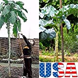 Walking Stick Kale 100, 200, 300, 400 seeds (HEIRLOOM NON GMO)