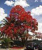 Brachychiton acerifolius - Flame Tree - Illawara Flame - Australian Flame Tree