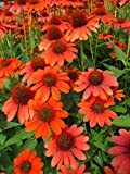 Adobe Orange Sombrero Coneflower Perennial - Echinacea - Gallon Pot