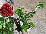 "14"" Surinam Cherry (a.k.a. Brazilian Cherry, Pitanga, Cayenne Cherry) Tree"