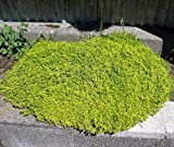 """Lime Thyme- Live Plant - Thymus - Lime Colored Leaves - Scent of Citrus - 3"""" Pot"""