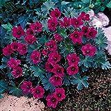 Best Garden Seeds New Geranium Macrorrhizum Dark Red Flower Seeds, Professional Pack, 10 Seeds, perennial bonsai plants