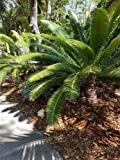 Cycad Dioon spinulosum Giant Dioon Gum Palm live 1 gal