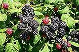 Wild * Black Raspberry Fruit Seeds * Sale*