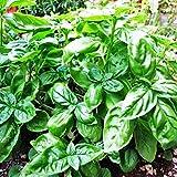 25 Seeds Herb - Basil Fino Verde