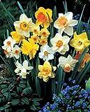 60 Days of Daffodils 25 Bulbs - Blooms February Thru April! - 12/14 cm Bulbs