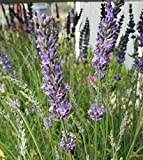 """Findlavender - Lavender Plant Phenomenal - 4"""" Size Pots - Zones 5-10 - Bee Friendly - Attract Butterfly - Evergreen Plant - 2 Live Plants"""