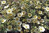 Primrose Beauty Shrubby Cinquefoil | 3 Live True Quart Plants | (Potentilla fruticosa 'Primrose Beauty')