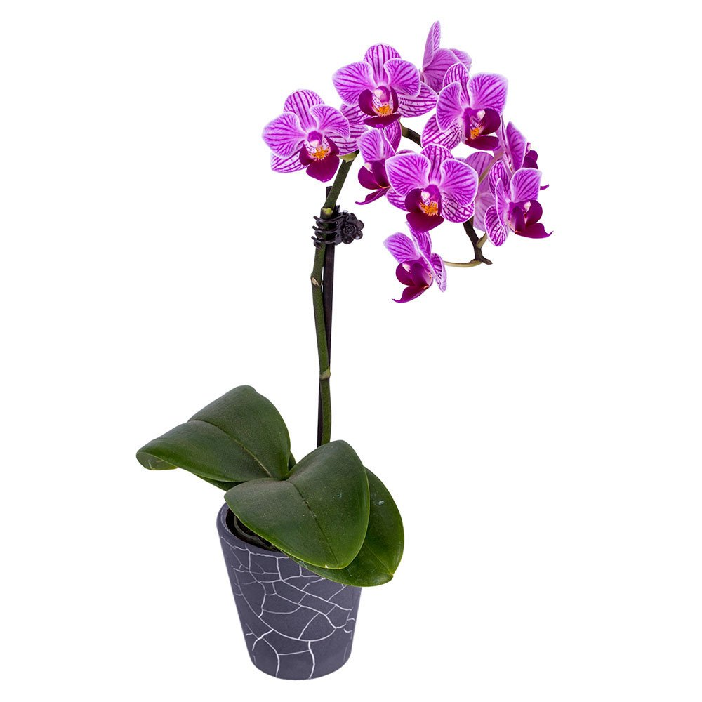 Orchid Plant to Grow Indoors