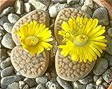 RARE LITHOPS HOOKERI @@ exotic living stone mesemb succulent plant seed 15 SEEDS