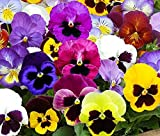 1,000+ Pansy Seeds- Swiss Giants Mix Flower Seeds (Bulk) Hardy Annual by Ohio Heirloom Seeds