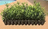 Podocarpus Macrophyllus Japanese Yew - 10 Live Plants - Evergreen Privacy Hedge