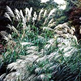 Outsidepride Miscanthus Sinensis Early Hybrids - 500 Seeds