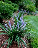 Super Blue Liriope Qty 20 Live Plants Groundcover