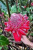 Rare LIVE Etlingera elatior Red Torch Ginger Large Plant Rhizome tropical flower