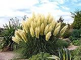 "White Pampas Grass Plant - Cortaderia selloana - 4"" Pot"
