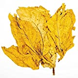 havanah GOLD TOBACCO *SMOOTH*10 SEEDS*Very rare*