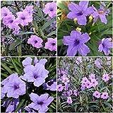6 Mexican Petunia~RUELLIA BRITTONIANA Perennial Well Rooted Plants Shrub Garden