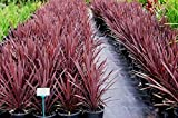 "CORDYLINE - SPIKES - RED SENSATION - 2"" LINERS / PLUGS - 2 LIVE PLANTS"