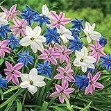Starflowers Mix 30 Bulbs 3/+ cm Bulbs - Very Hardy - Ipheion uniflorum