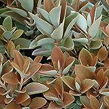 Kalanchoe Orgyalis - Succulent Plant - Copper Spoons Live Plant