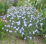 Earthcare Seeds Blue Flax 1500 Seeds (Linum lewisii) Non GMO, Heirloom